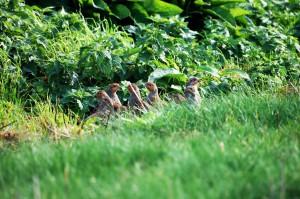 Agerhøns i markkant